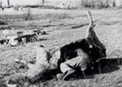 French observer in a fake horse carcass.
